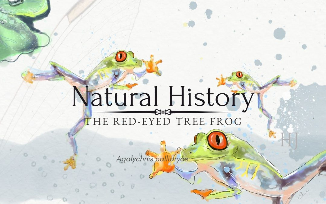 Natural History, The Red-Eyed Tree Frog